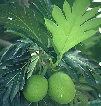 http://www.harekrsna.com/practice/prasadam/ingredients/glossary/f-breadfruit.jpg