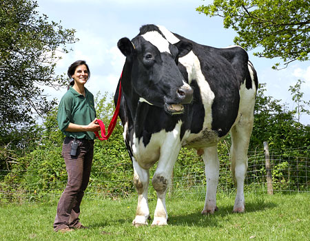 World's Biggest Cow
